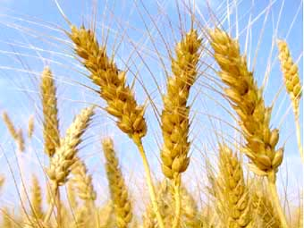 Wheat close up dry wheat with blue sky
