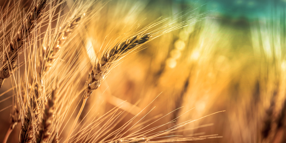 Title: Close-up Of Ripe Golden Wheat With Vintage Effect, Clouds And Sky - Harvest Time Concept