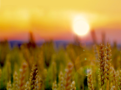 Sunset-Over-Wheatfield-Harvest-time